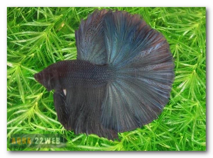 Aquarium betta splendens les poissons combattant for Nourriture combattant