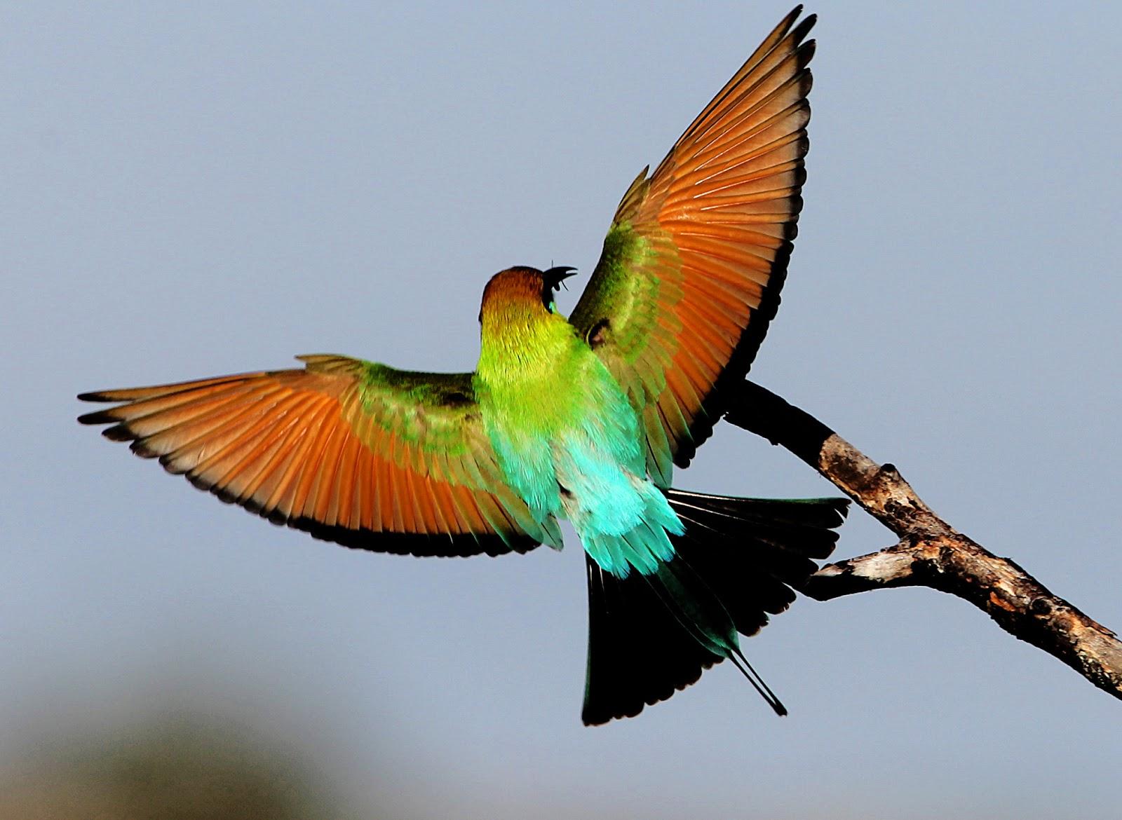 GallianMachi: Amazing Rainbow Bee-eater
