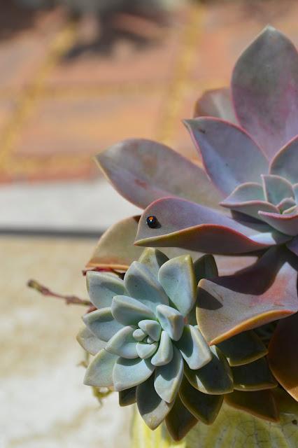 succulent, succulents, cactus, cacti, garden, gardening, graptopetalum, senecio, portulacaria, graptoveria, hatiora, ladybug, planter, garden planter, succulent planter, nature