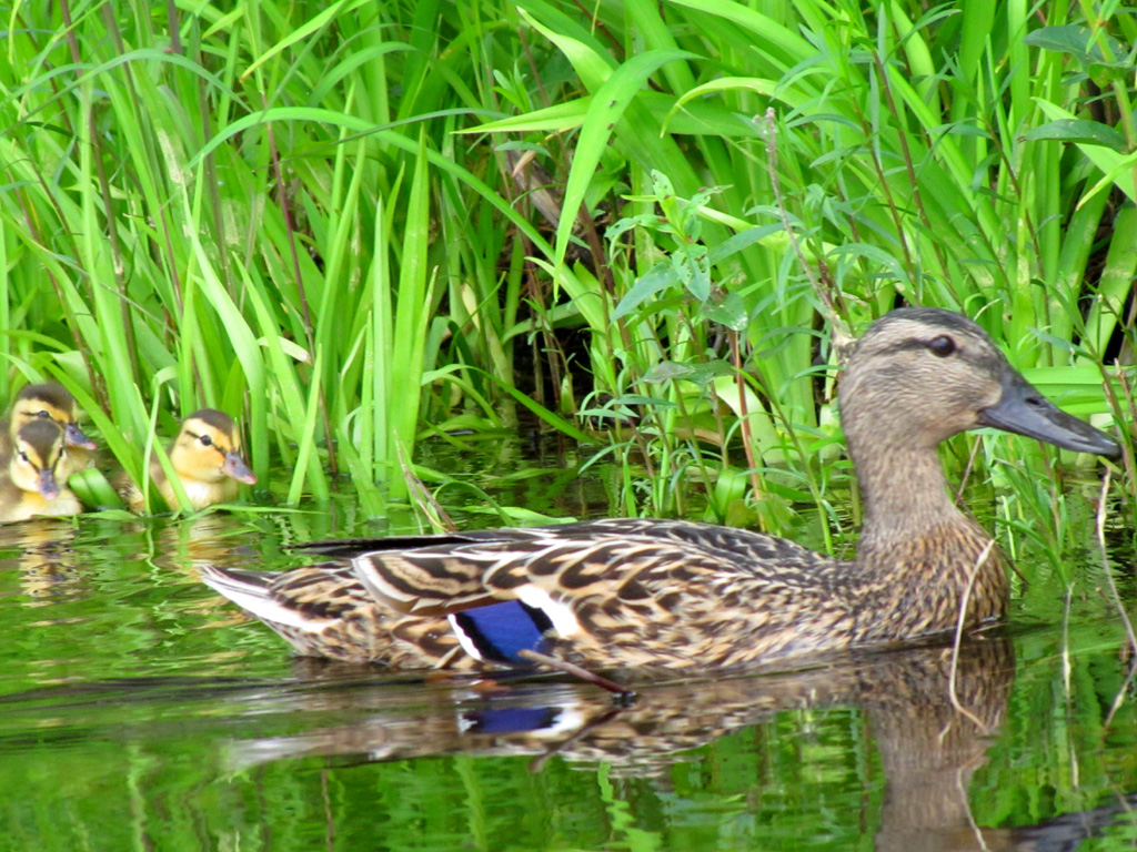 Mallard ducks (Anas platyrhynchos). | GreenFuse Photos: Garden ...
