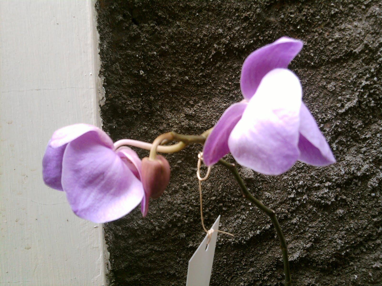 Tissue Culture And Orchidologi Teknik Hibridisasi Anggrek Benih Biji Bulan Kultur Jaringan Melalui Seksual Dilakukan Dengan Alasan Tidak Mempunyai Endosperm Cadangan Makanan Atau Berukuran Sangat