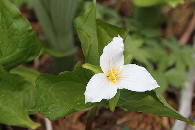 Goat Lake - Trillium ovatum