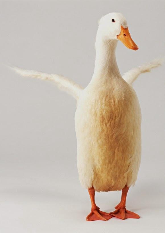 Gambar Itik Bebek