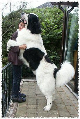 10 Dogs Who Don't Realize That They Are Huge