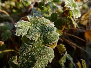 Geranium x cantabrigiense - 'Biokovo'