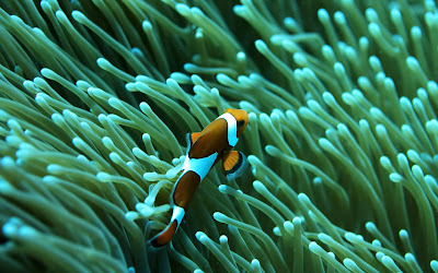 Clownfish saltwater aquarium reef fish