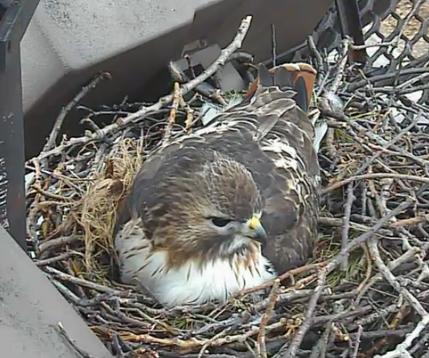 Bird Cams FAQ Redtailed Hawk Nest  All About Birds