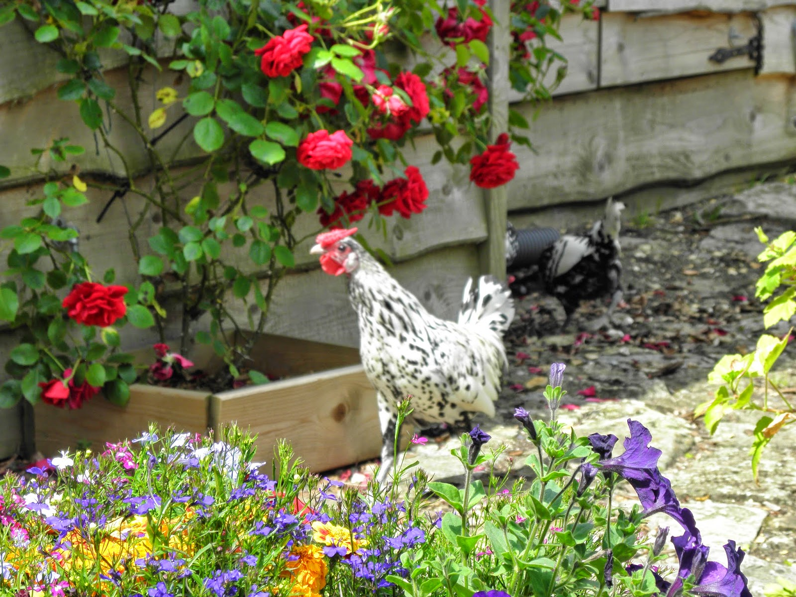 Flyte so Fancy Chickens Free Ranging