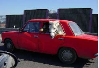 funny picture: horse in the car