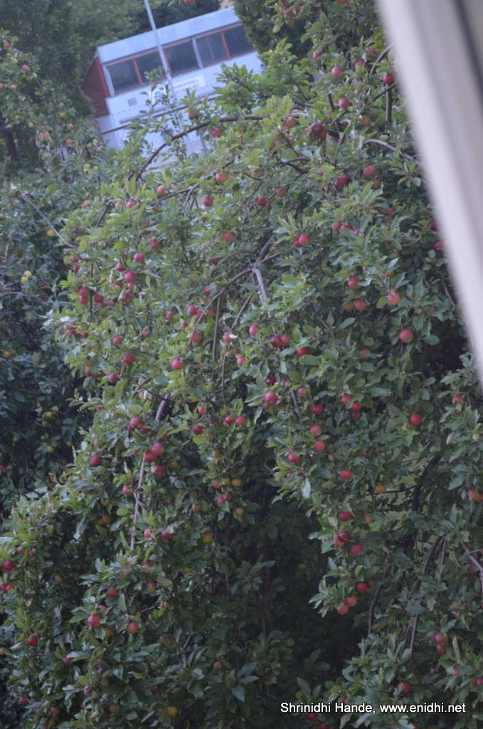 apple tree in the backyard enidhi india