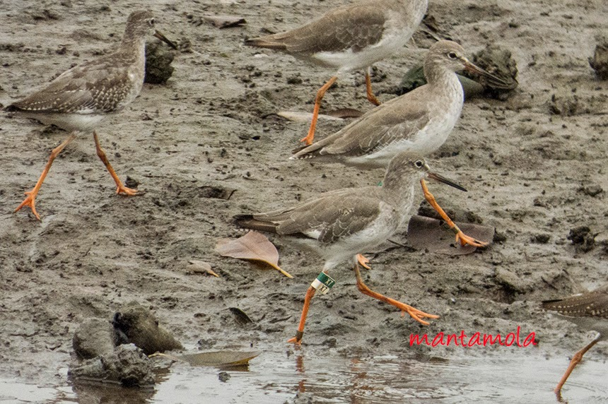 Red Shank with flag