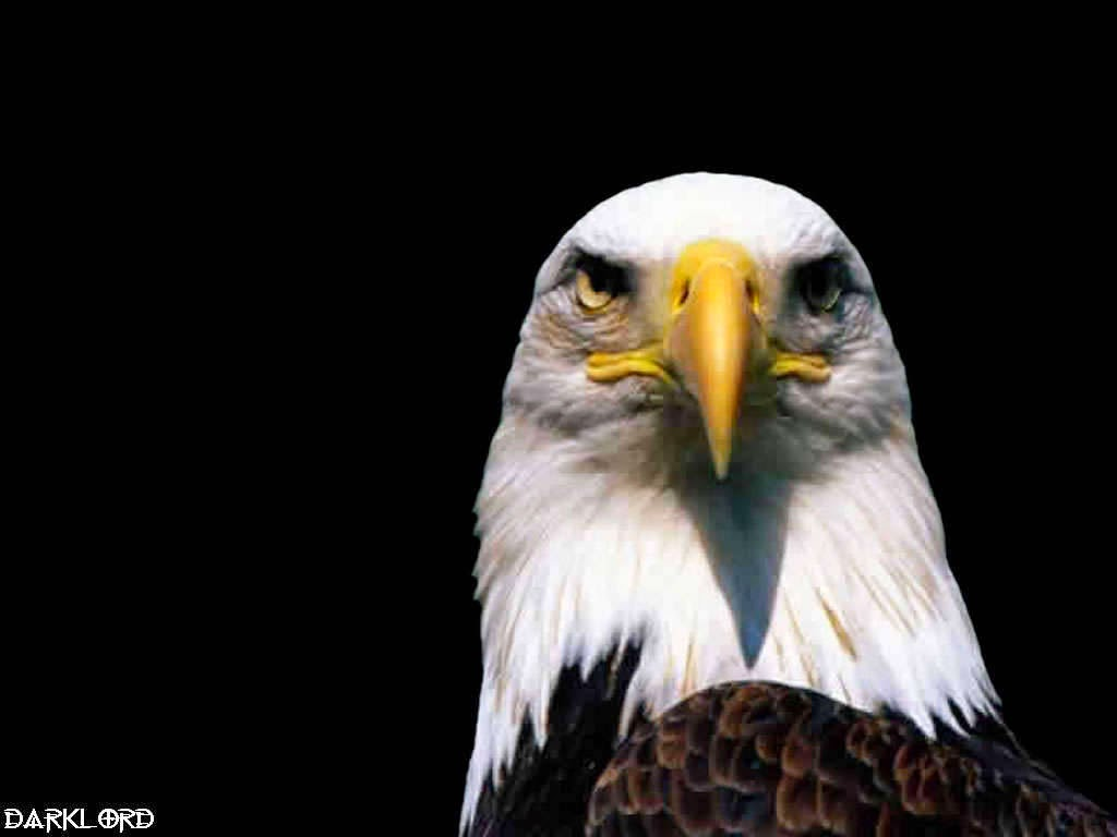 Arti mimpi lihat burung Elang, Tafsir mimpi ketermu burung Elang, Makna mimpi pelihara burung Elang