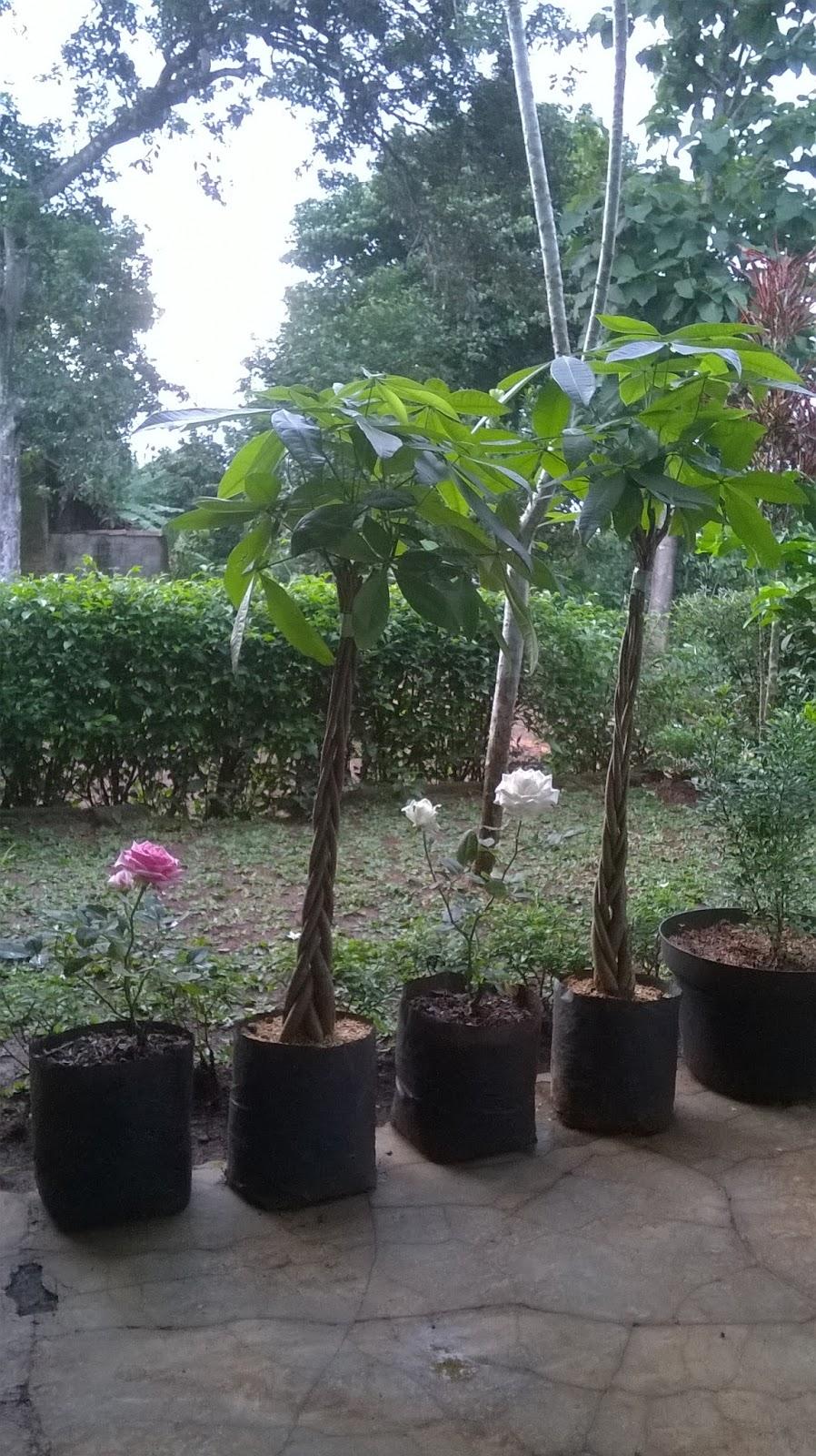 Cara Mengkepang Pohon Pachira HABIBAN TAMAN DAN LANDSCAPE
