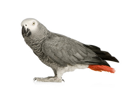 A grey parrot (psittacus erithacus) looking at the camera