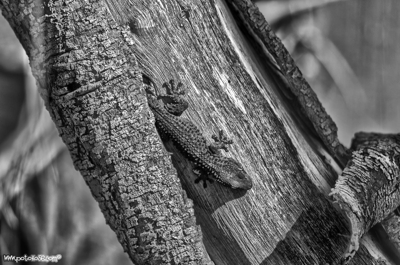 Salamanquesa tomando el sol en el tronco de un árbol