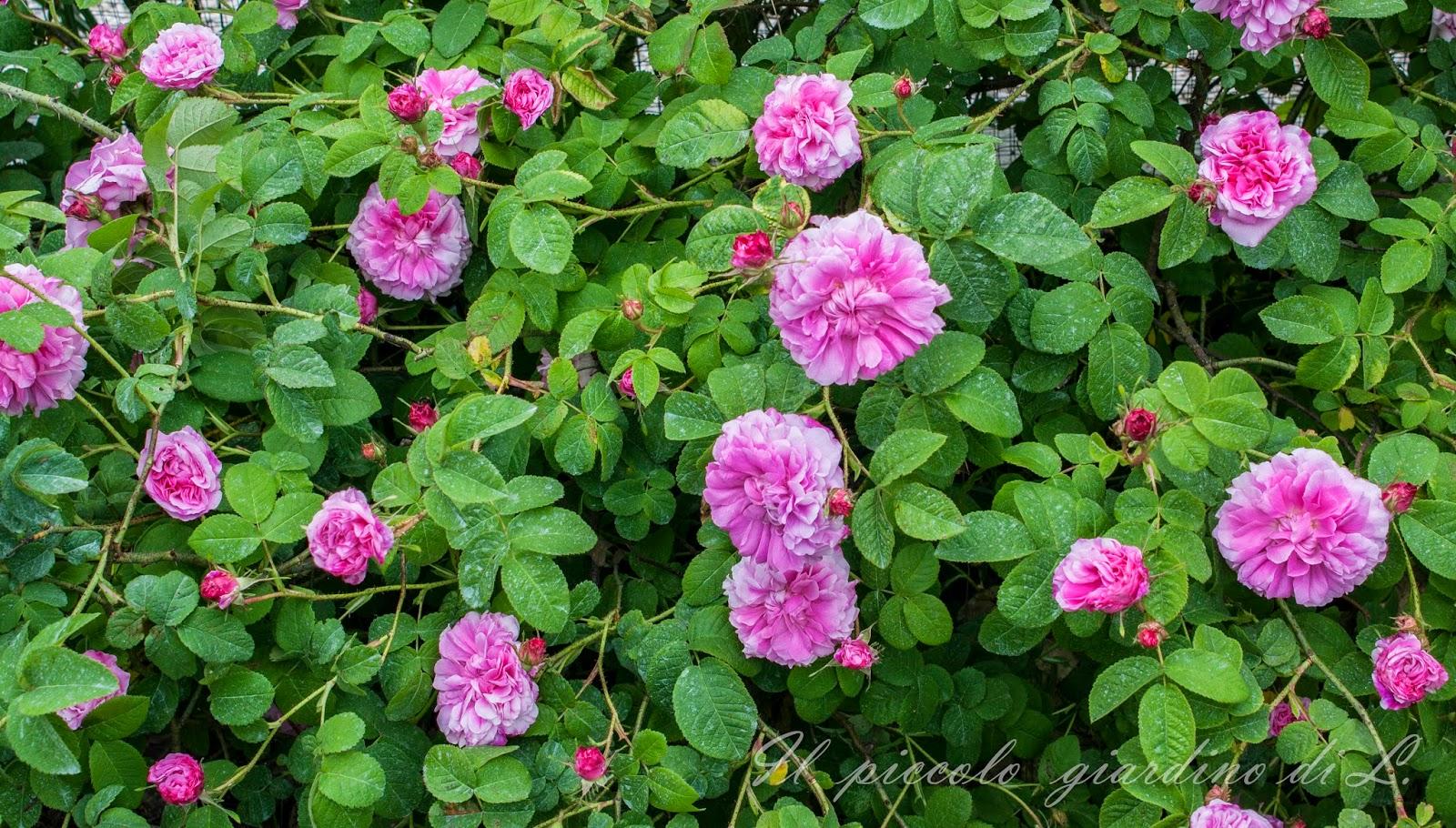 Il piccolo giardino di l potatura e coltivazione delle rose le dritte sulle rose di un - Rose coltivazione in giardino ...