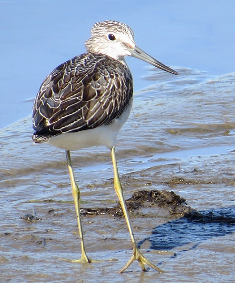 Greenshank