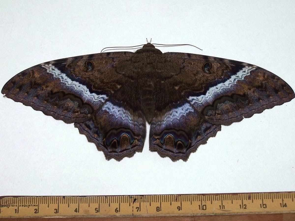 Black witch moth underside