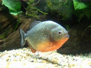 Kumpulan 60 Resep Jitu Umpan Galatama Ikan Bawal Yang Telah Teruji Dan Terbukti Ampuh