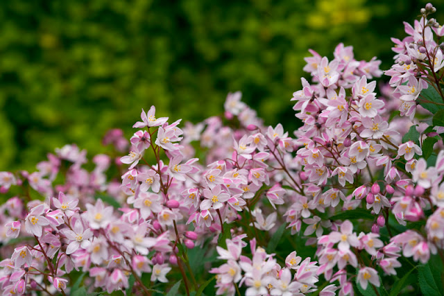 Yuki Cherry Blossom Deutzia from Proven Winners