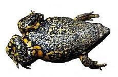 Sapo-Guarda (Elachistocleis cf. ovalis)