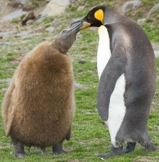 Pingüino amistosos