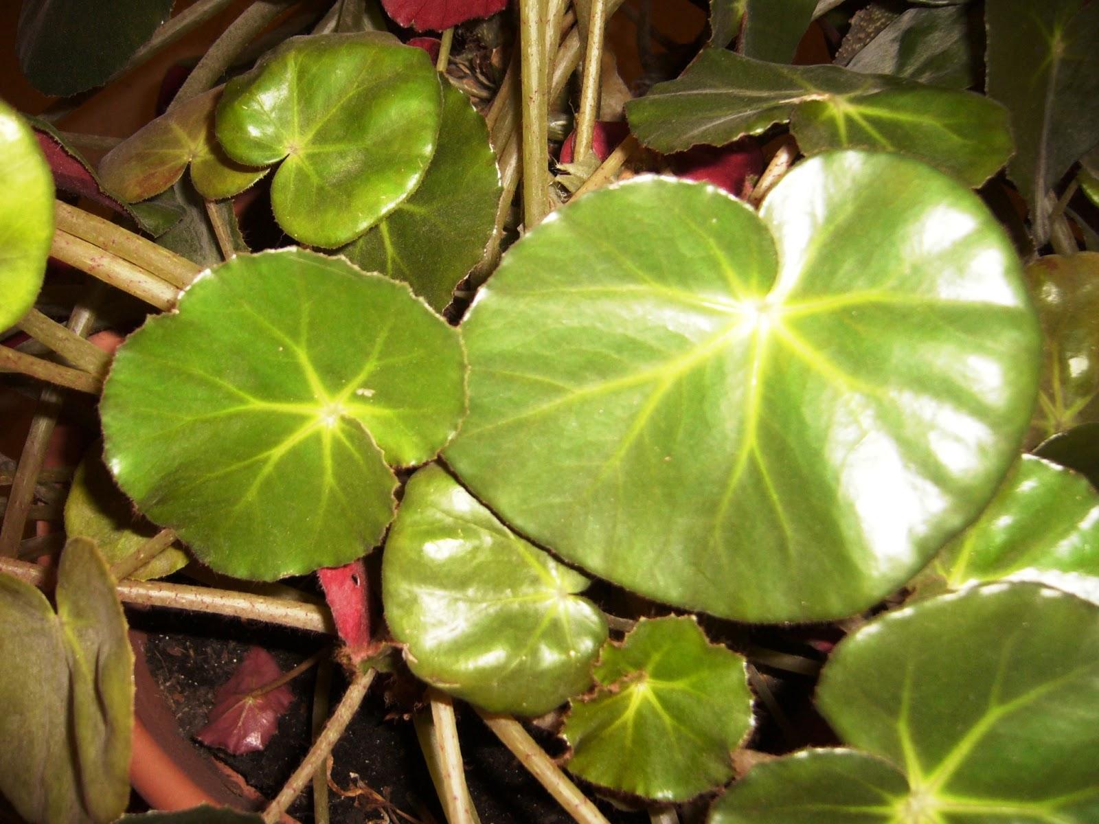 les plantes de peg begonia erythrophylla b gonia n nuphar. Black Bedroom Furniture Sets. Home Design Ideas