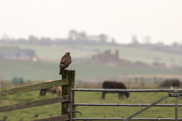 Very Large, dark, Common Buzzard