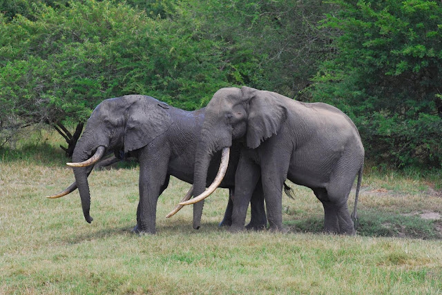 African Elephants with Tusks