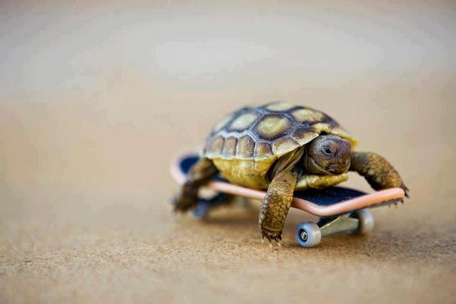 funny animal pictures, skateboarding tortoise