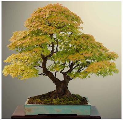 Todo jardines bonsai de haya europea - Bonsai de haya ...