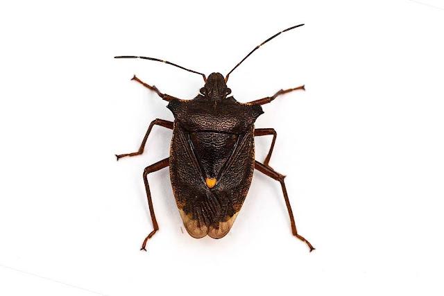 Forest Shield bug Pentatoma rufipes