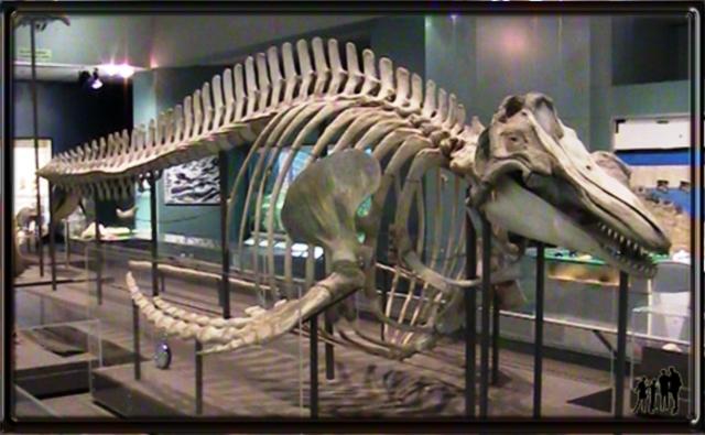 Squelette de baleine, muséum d'Histoire Naturelle d'Halifax