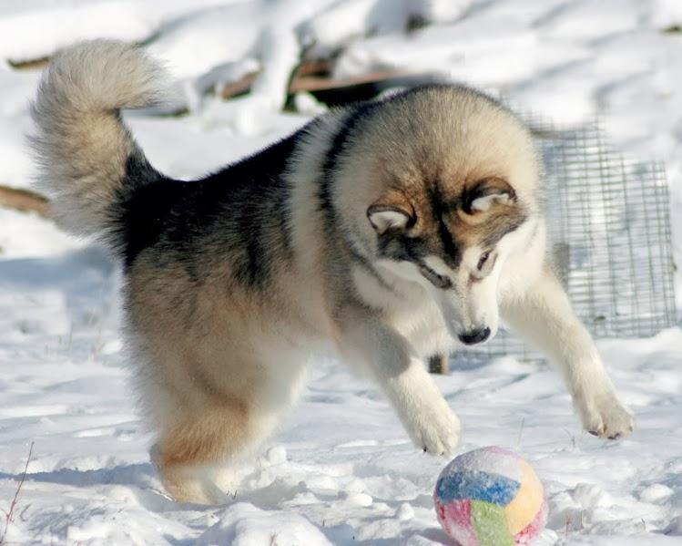 Аляскинский маламут любит природу и