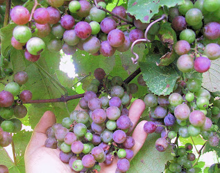 Amazing Creation: Grapes
