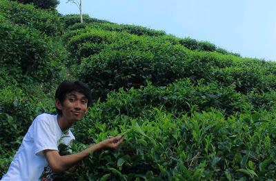 angki dan kebun teh