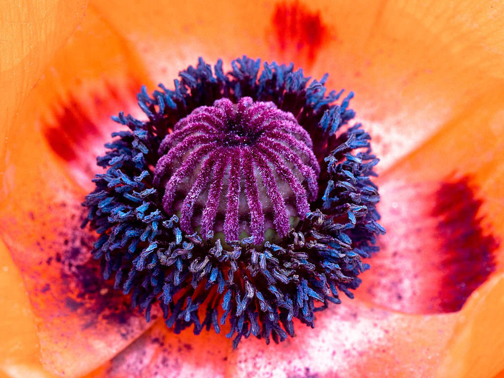 Mainenaturediary Positively Passionate About Poppies