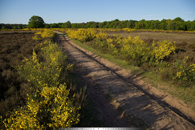 Met gele Brem omzoomt pad op de hei - Yellow Broom leads the way