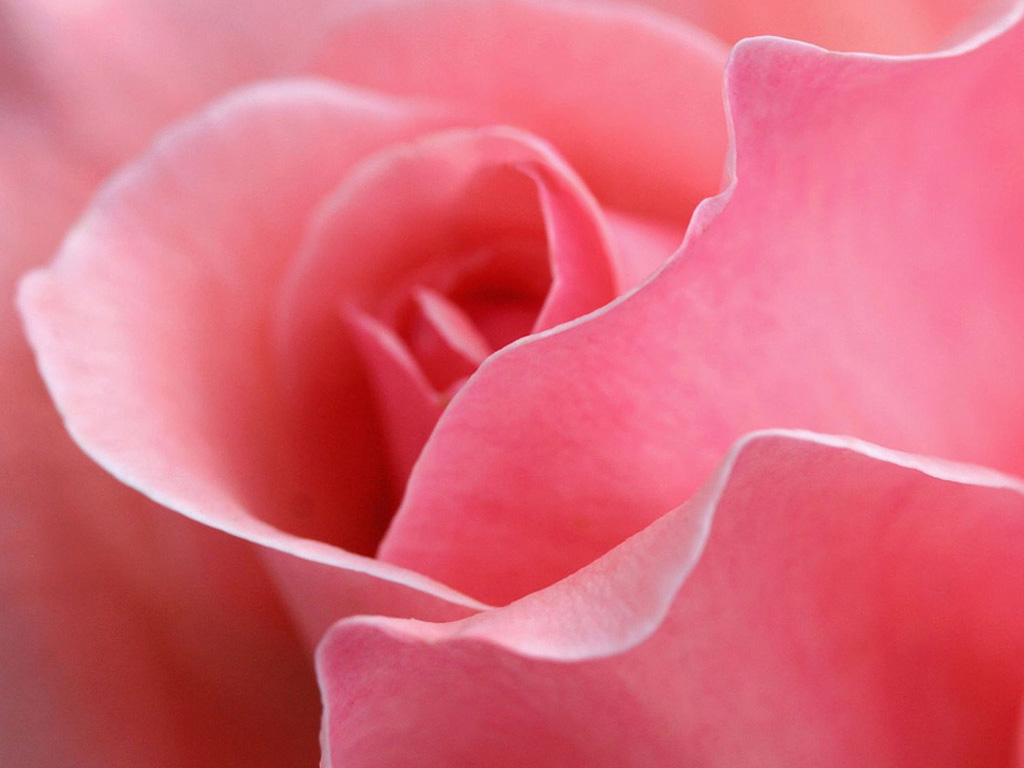 Pink Roses   Flowers Pictures   Flowers Wallpapers   Red Roses