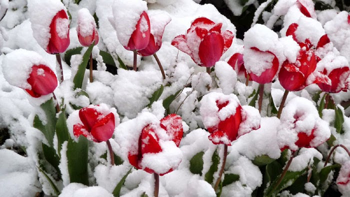 tải hình hoa tulip