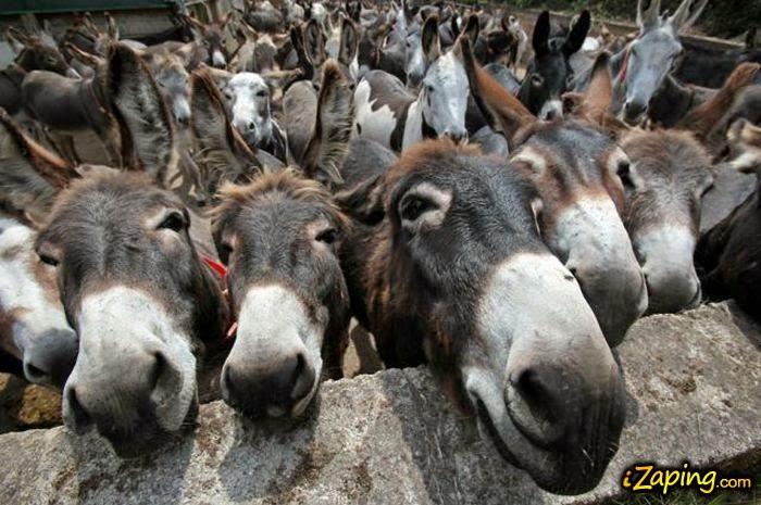 Reunión de burros catalanes