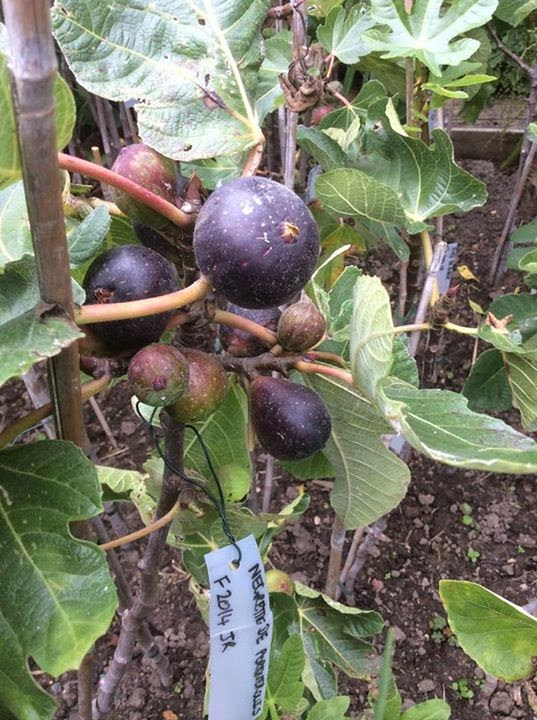 Fig NEGRETTE DE PORQUEROLLES kevin figs stand up