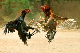 A ban slapped by Hyderabad High Court on cock fights during Sankranti had little effect as the traditional blood sport was held in many parts of Andhra Pradesh.  Ironically, the AP government had assured the Court that it would not allow cockfights and betting during the festival.