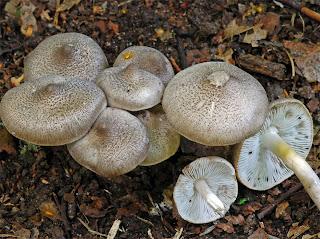 Tricholoma scalpturatum - Negrilla