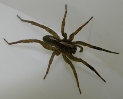 Michigan Spiders - Wolf Spider-3