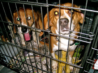 Beagle Freedom Project founder on what you can do to help research lab beagles :   Shannon Keith, Founder of the Beagle Freedom Project