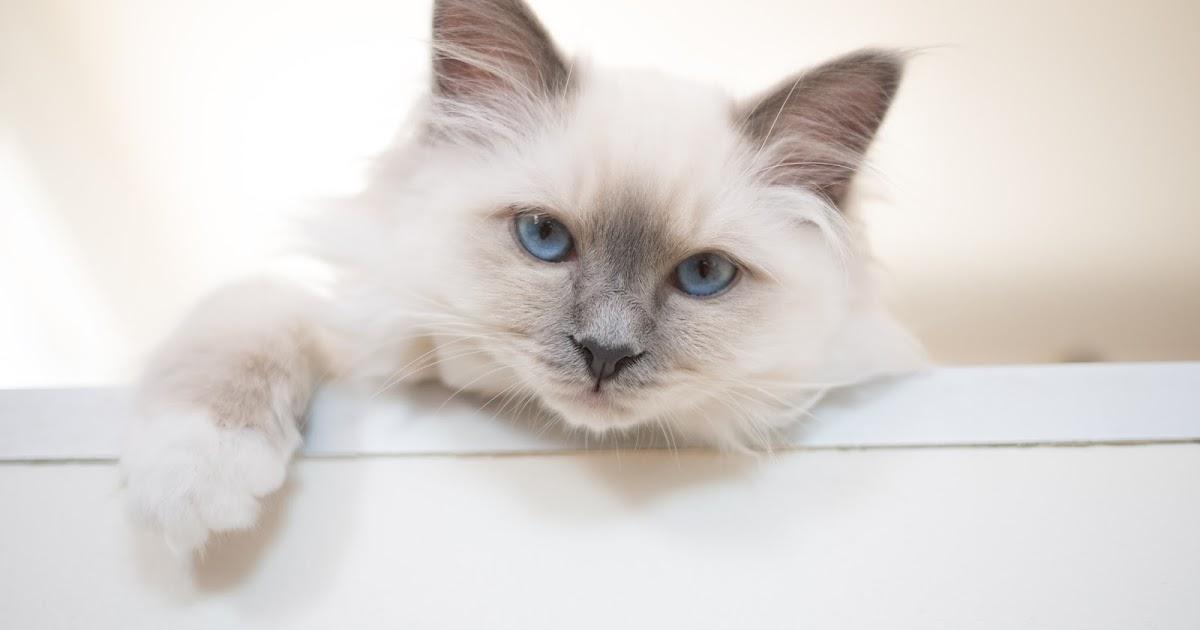 leeloo et sa souris adopter un chat de race. Black Bedroom Furniture Sets. Home Design Ideas