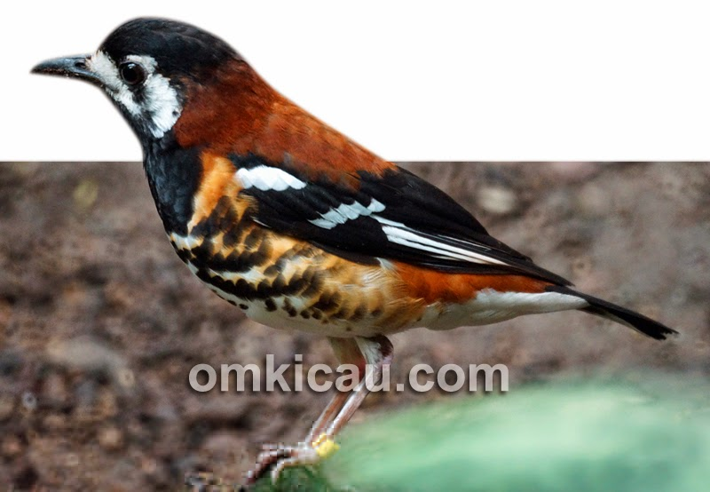 Gambar Cara Merawat Burung Anis Cendana
