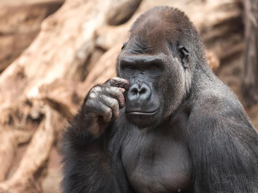 "<img src=""http://2.bp.blogspot.com/-ENrLw_zbpZk/UtkNhaH3XjI/AAAAAAAAIco/jz0fDN7zcmY/s1600/animal-wallpapers-thought-gorilla.jpeg"" alt=""thoughtful gorilla"" />"