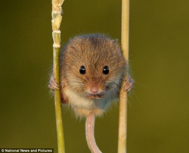 Tikus seimbang tubuh dengan berpaut pada dua batang pokok dengan kaki dan ekor